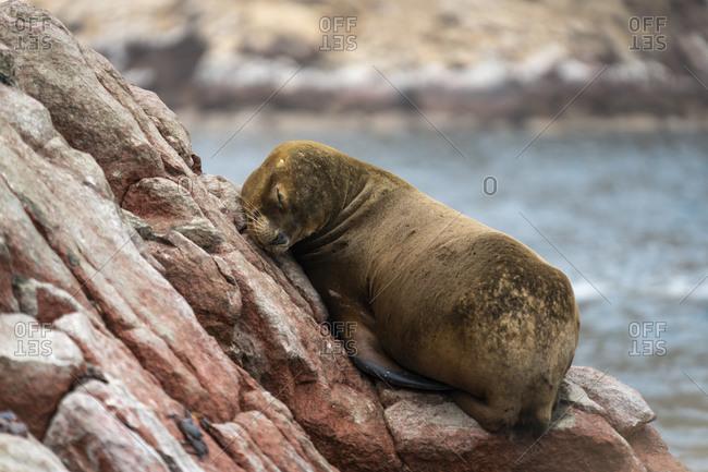 South american sea lion sleeping on rock at ballestas islands, paracas, peru