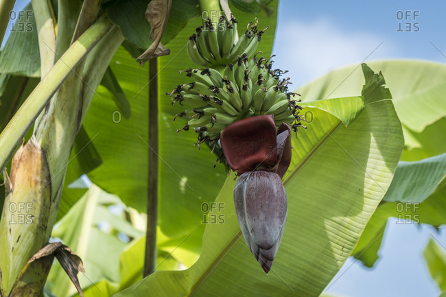 Cluster of bananas with flower hanging on tree, hsipaw, myanmar