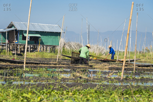 Nyaungshwe, shan, myanmar (burma) - january 20, 2018: farmers working on floating garden, lake inle, nyaungshwe, myanmar