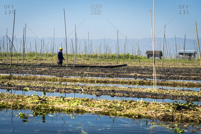Nyaungshwe, shan, myanmar (burma) - january 20, 2018: farmer working on floating garden, lake inle, nyaungshwe, myanmar