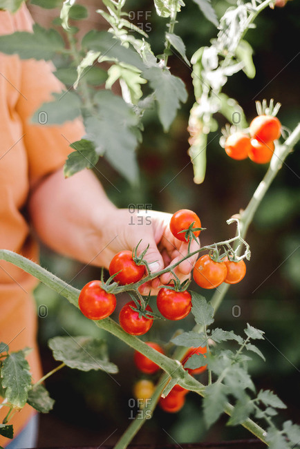 Close-up of a woman's hands holding organic cherry tomatoes