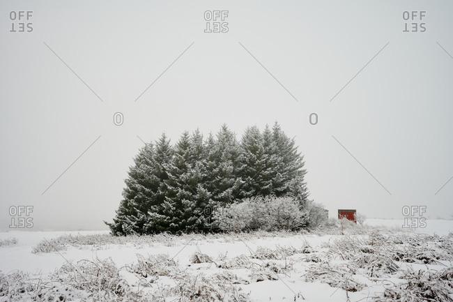 Coniferous trees in snowy field