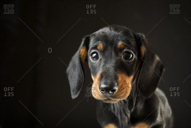 Portrait of a dachshund puppy.