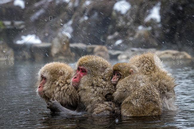 Family of winter monkeys in lake