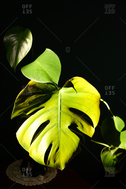 Green monstera leaf in sunlight with dark copy space