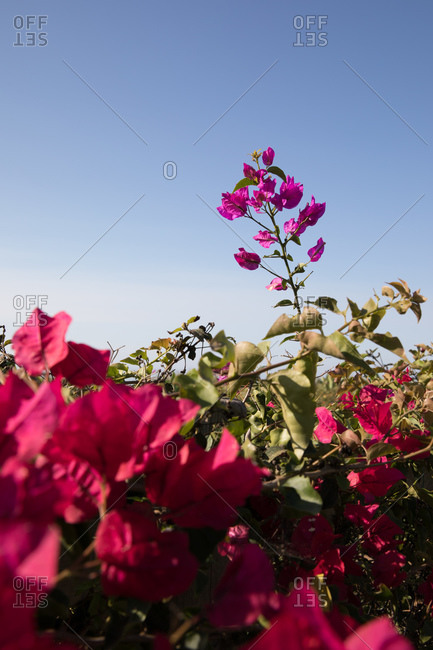 Pink Bougainvillea flowers in Montecito, California