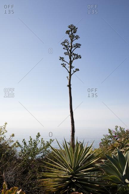 Yucca plant on the coast of Montecito, California