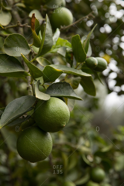 Close up of limes growing on tree