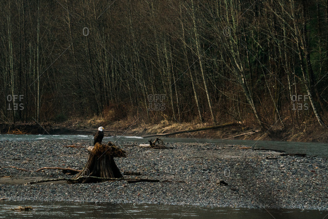 Bald eagle perched on a tree stump on the Nooksack River in rural Washington