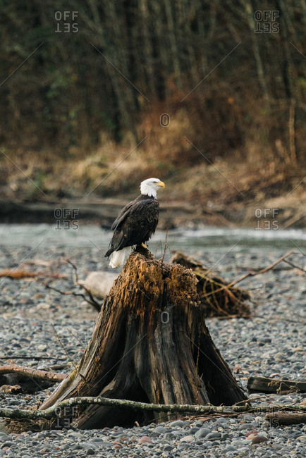 Profile view of a bald eagle perched on a tree stump on the Nooksack River in rural Washington