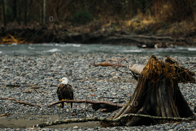 Bald eagle perched on a tree branch on the Nooksack River in rural Washington