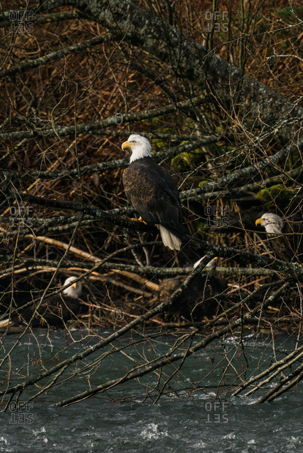 Bald eagle on a tree branch above the Nooksack River in rural Washington with other eagles in the background