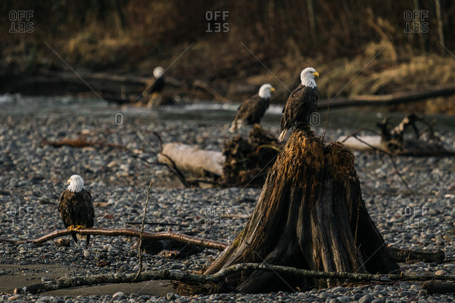 Bald eagle perched on a tree stump on the Nooksack River in rural Washington surrounded by other eagles