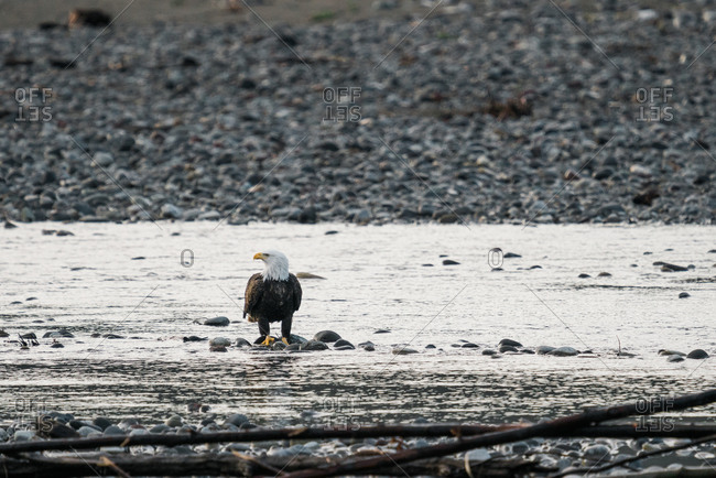 Bald eagle walking on rocks in the Nooksack River in rural Washington