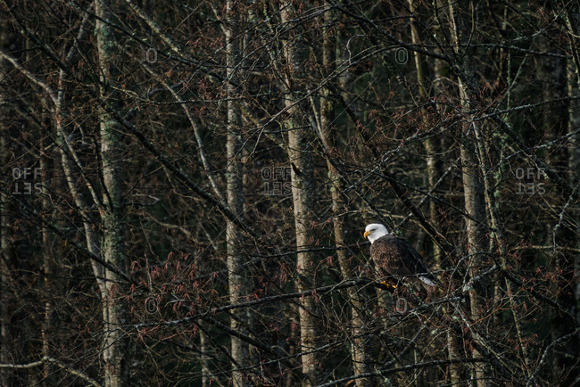 A bald eagle seen perched on a tree branch in the woods in rural Washington