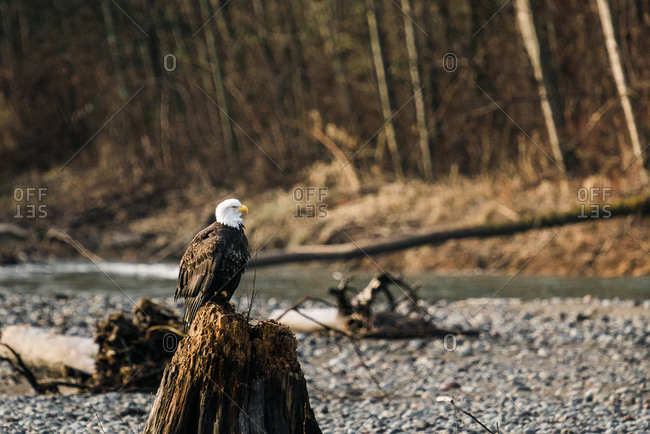 A beautiful bald eagle perched on a tree stump on the Nooksack River in rural Washington