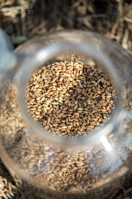 Glass jar filled with freshly harvested oats