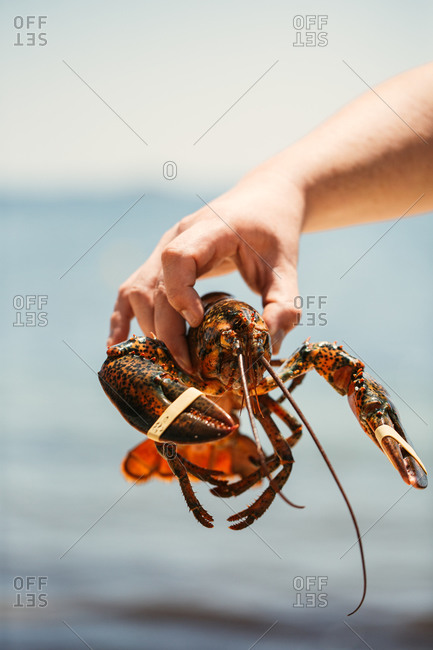 Hand holding a fresh live lobster with bands around the claws