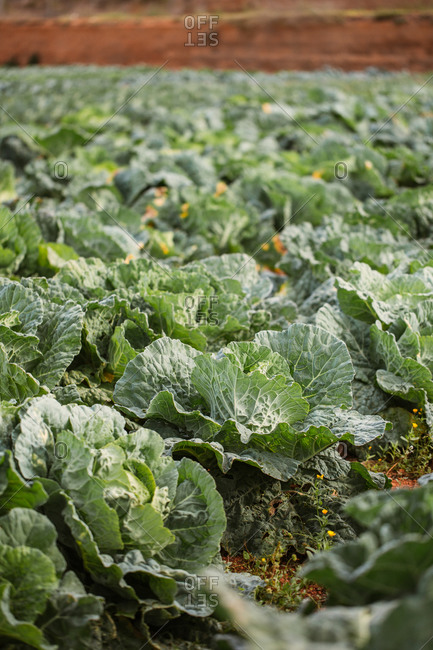 Green leafy cabbage growing in a field