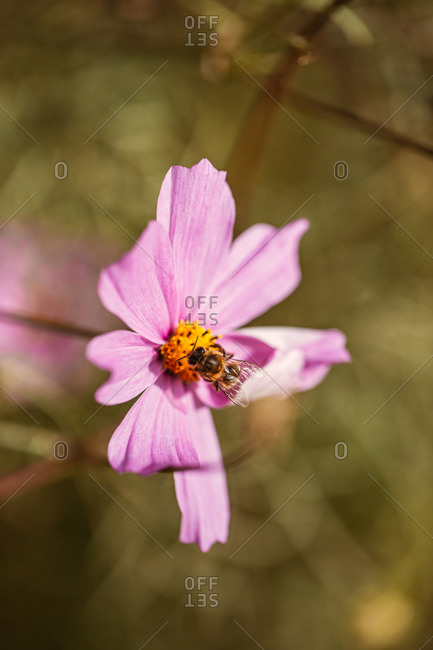Close up of a bee on a pink flower