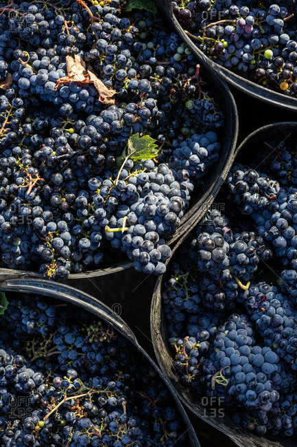 Freshly harvested black grapes in containers