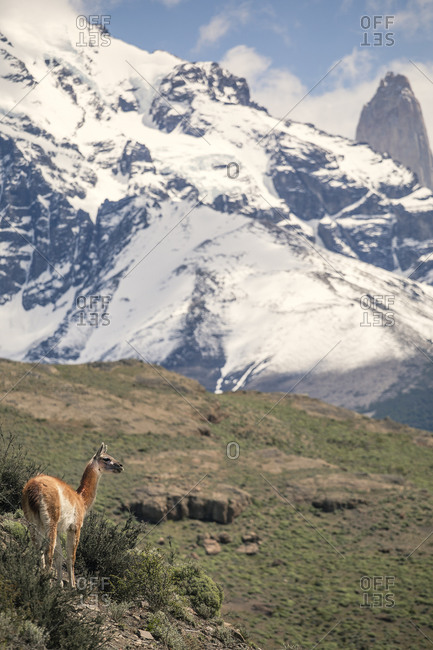 A lone guanaco with the peaks of Torres del paine behind it