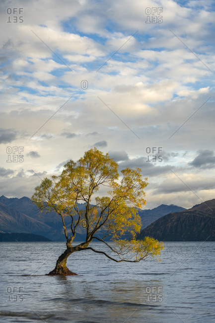 Lone tree in roys bay on wanaka lake against cloudy sky, wanaka, queenstown-lakes district, otago region, south island, new zealand