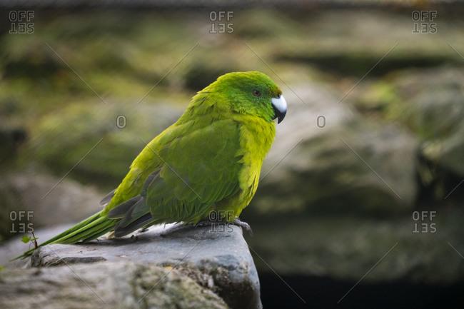 Close-up of antipodes island parakeet captive at te anau bird sanctuary, new zealand