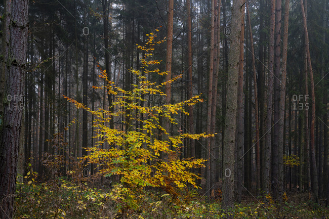 Yellow beech tree in forest during autumn, central bohemian region, Czech republic