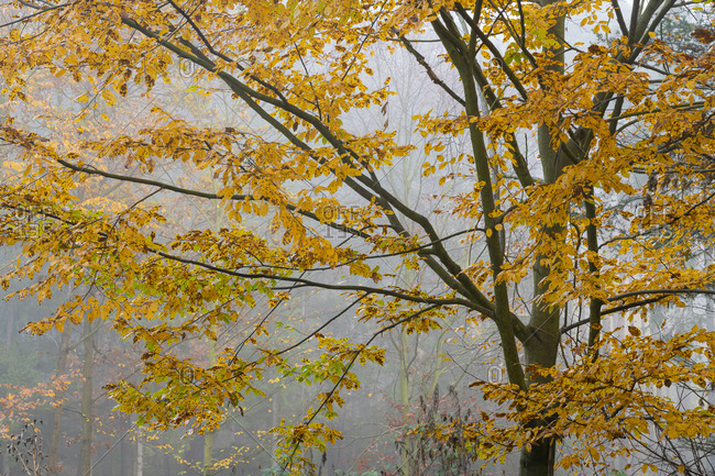 Detail shot of branches of tree with yellow leaves in autumn during misty morning, central bohemian region, Czech republic
