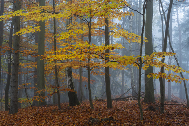 Yellow beech tree in a forest covered with mist in autumn, hruba skala, bohemian paradise, semily district, liberec region, bohemian, Czech republic