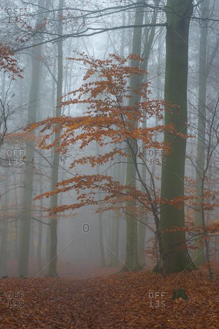 Tree with orange leaves in autumn during misty morning, hruba skala, semily district, liberec region, bohemian paradise, bohemia, Czech republic