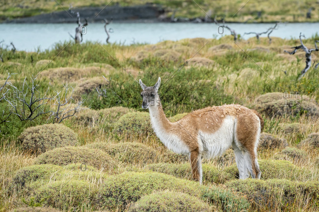 Guanaco, Torres del paine national park, magallanes region, Patagonia, chile