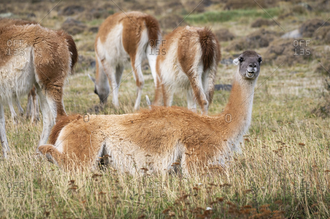 Guanaco sitting in grass amongst its herd, Torres del paine national park, magallanes region, Patagonia, chile