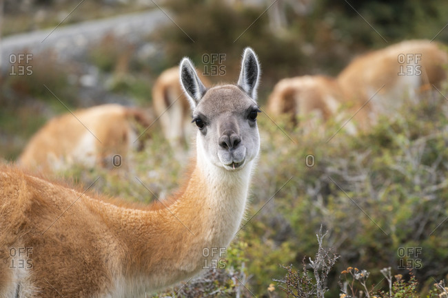 Head of guanaco looking at camera, Torres del paine national park, magallanes region, Patagonia, chile