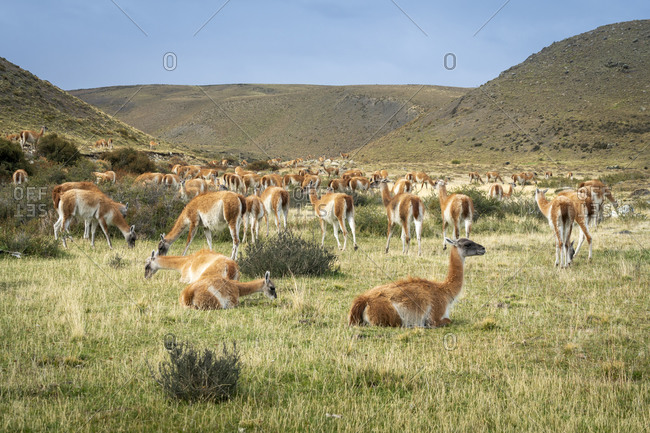 Guanaco herd, Torres del paine national park, magallanes region, Patagonia, chile