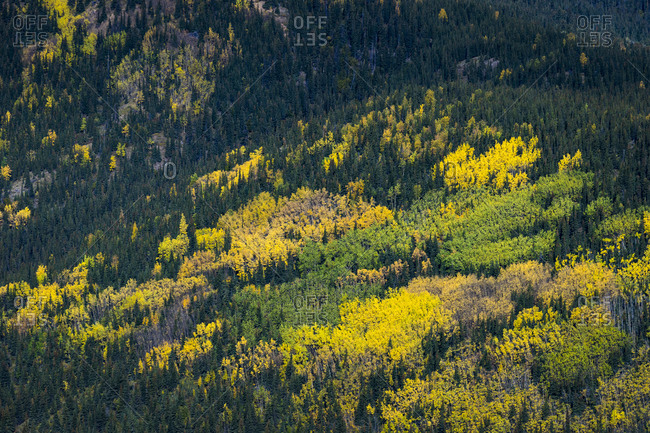 Aerial view of trees turning colors in autumn, denali national park and preserve, denali borough, interior alaska, alaska, usa