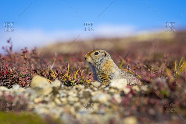 Surface level of hoary marmot, denali national park and preserve, alaska, usa