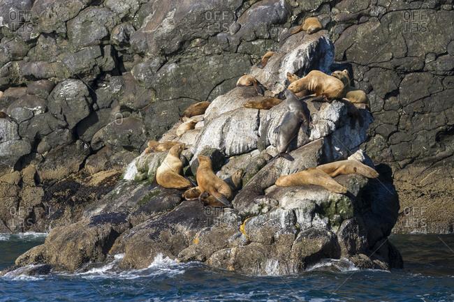 Steller sea lions on rocks at resurrection bay, kenai fjords national park, alaska, usa
