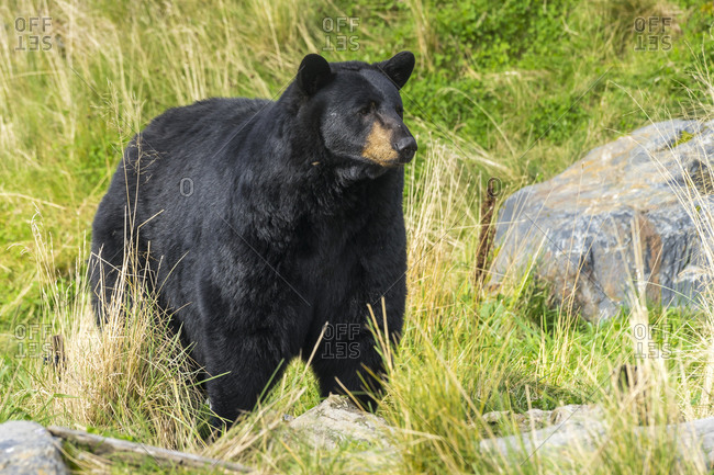 Captive black bear at alaska wildlife conservation center, portage, downtown anchorage, anchorage, southcentral alaska, alaska, usa
