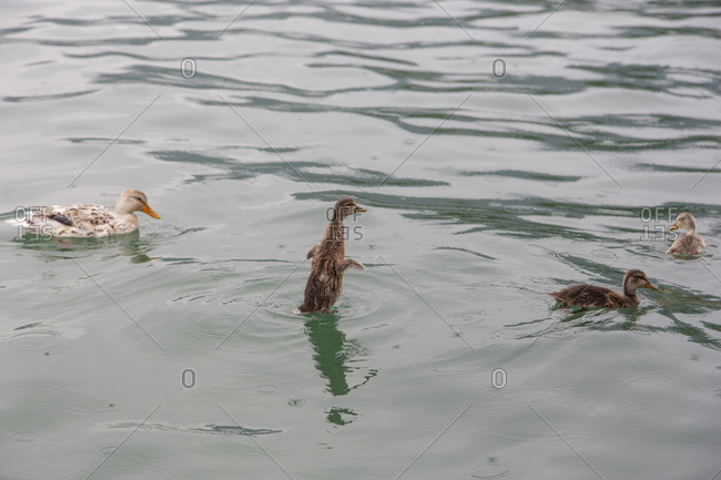 A young duck rising out of a lake in the rain