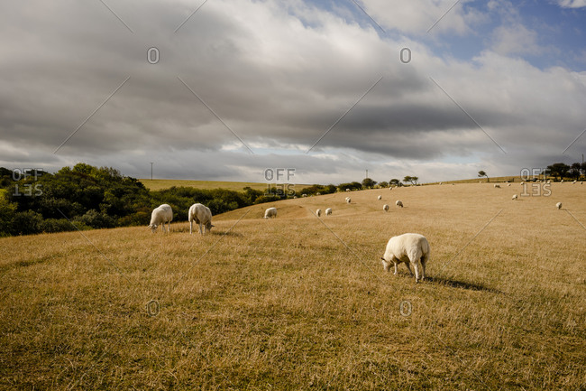 Sheep graze in the english countryside near whitby