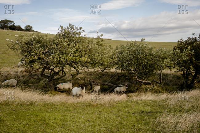 Sheep in the english countryside near robins hood's bay