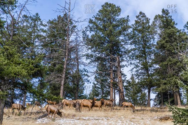 Herd of elk next to road in jasper