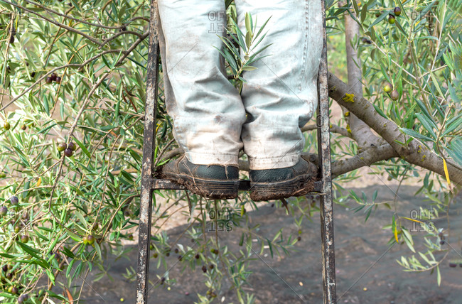 Worker picking olives, details of legs with security boots on a ladder