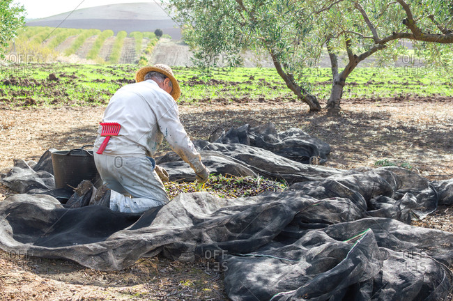 Crouched farmer with hat picking olives using a big bucket in the field during sunny day.