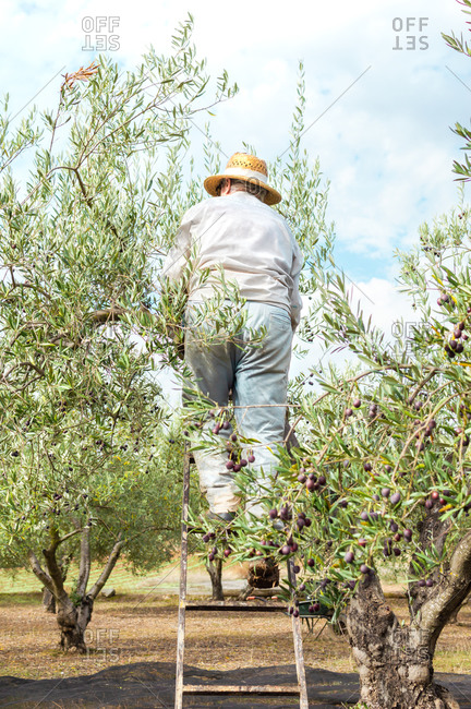 Farmer in work clothes climbing a ladder to pick olives in the field.