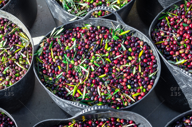 Olive harvest: close up of large buckets full of freshly picked olives on sunny day.