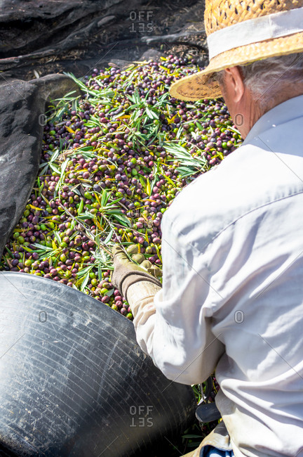 Top view of a senior farmer with hat putting olives in a bucket during the harvest of the olives.