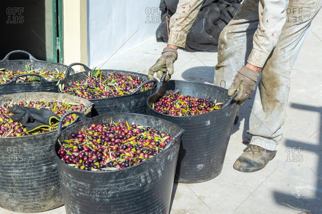 Farmer with dirty work clothes carrying a bucket full of olives.